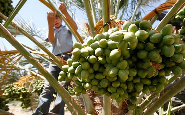 Los menores que trabajan en los asentamientos agrícolas de Israel no reciben