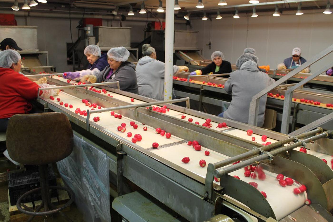 Trabajadores seleccionan y empacan rábanos en una empresa de Ohio, cerca a Willard, donde el mexicano Jesús Lara López está en riesgo de deportación. Foto: Tomada de internet.
