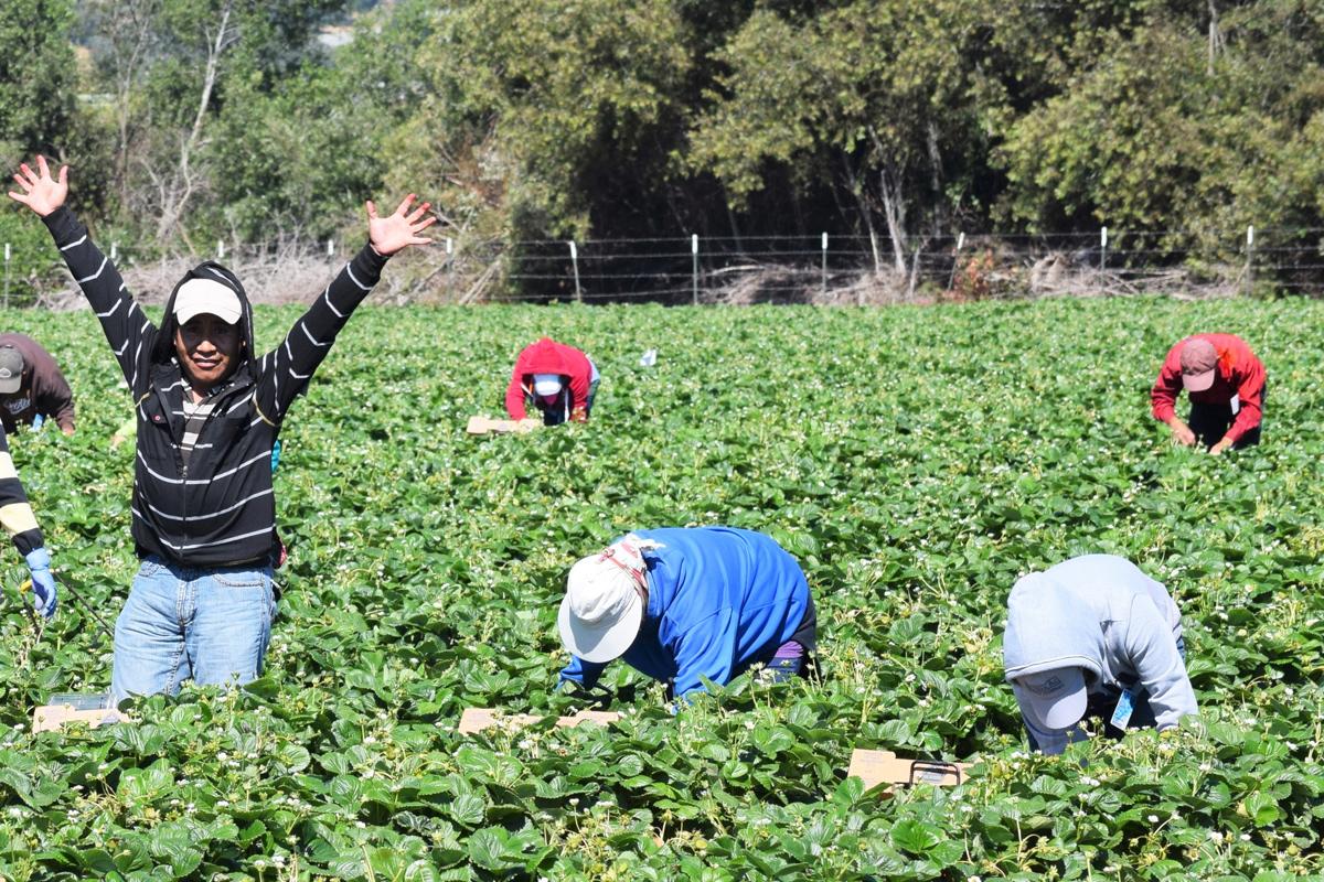 Un grupo de trabajadores agrícolas realiza su labor en un sembradío de Estados Unidos. Foto: Tomada de internet.