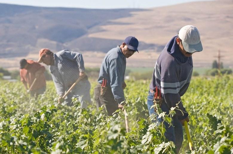Un grupo de trabajadores agrícolas realiza su faena diaria en un campo estadounidense. La mano de obra indocumentada se encuentra enre las más vulnerables en medio de la crisis que ha desatado la propagación del coronavirus. Foto: Tomada de internet.